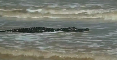 alligator swimming in Gulf. BRyan Beach near Freeport, TX (click2hoston.com screenshot)