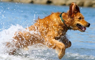 Golden Retriever in water/Scot Beckner/Flickr/Wikimedia.org)
