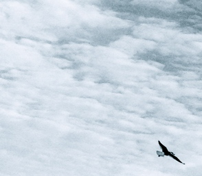 NO permissions granted for this image of bird in sky. ALL rights reserved. Copyrighted