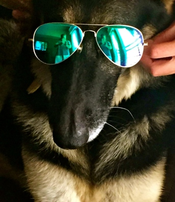 dog in sunglasses. No permissions granted. Copyrighted. ALL rights reserved