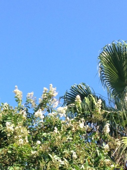 Bright blue cloudless sky (Copyrighted)  with crepe myrtle ALL rights reserved for this image. NO permissions granted.