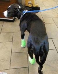 Prada at vet. Facebook Pit Bull Rescue of Houston