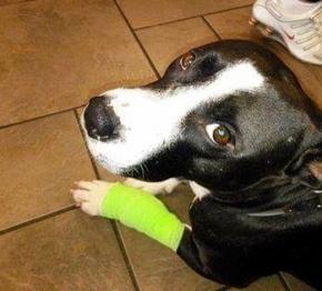 Grateful dog. Prada getting better. (Facebook Pit Bull Rescue of Houston)
