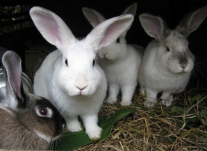 Group of bunnies. (Camilo Gonzalez/Commons.wikimedia.org)