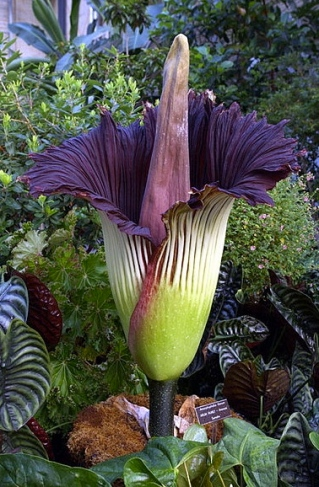 Come closer, my lovely. (Corpse Flower. Amorphophallus titanum at the US Botanic Garden.(USPD: fed.employee/Commons.wikimedia.org)
