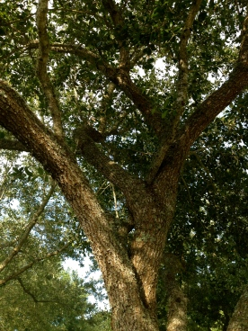 Oak tree branches arrange for convenient climbing steps (NO permissions granted . ALL rights reserved. Copyrighted