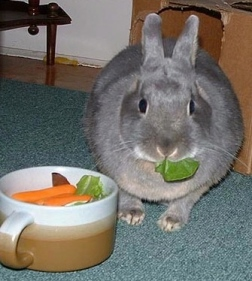 Grey rabbit eating carrots /Flickr.Art Vandelay/Commons.wikimedia.org)