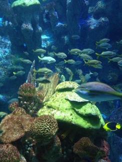 School of fish in the water at Boston aquarium. NO permissions granted. ALL rights reserved. Copyrighted