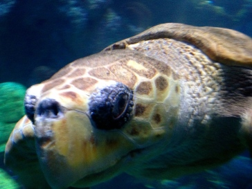 ALL rights reserved for this image of Upclose face of sea turtle saying hello in Boston Aquarium. NO permissions granted. Copyrighted