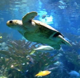 NO permissions granted for this image of swimming turtle at Boston Aquarium ALL rights reserved. COpyrighted.