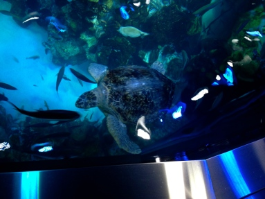 No permissions granted for this image of turtle surfacing at top of the Boston aquarium tank. ALL rights reserved. Copyrighted