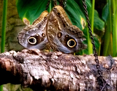 two owl butterflies (ALL rights reserved) create an owl-ish face. NO permissions granted. Copy righted