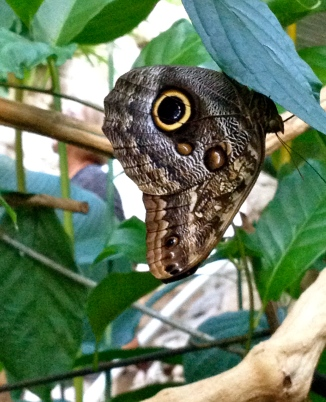 owl butterfly (No permissions granted) on a branch ALL rights reserved. Copy righted