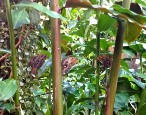 Three owl butterflies in the (NO permissions granted) HMNS rainforest. ALL rights reserved. Copy righted