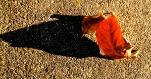 bright red leaf and shadow