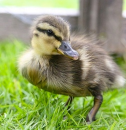 Duckling (Image by S. Ritter/commons.wikimedia.org)