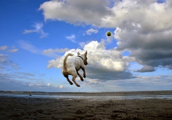 Dog chasing a ball./ Eddie at the beach. by Steve-65/Commons.wikimedia.org)