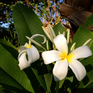 late blooming (NO permissions granted)Plumeria. Frangipani. ALL rights reserved. copyrighted