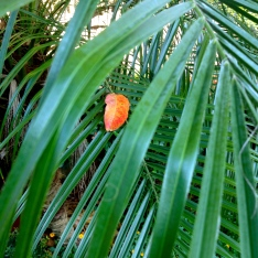 ALL rights reserved for this red autumn leaf on palm branch. NO permissions granted. Copyrighted