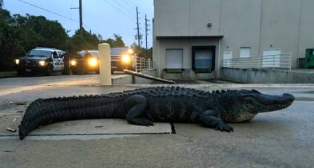 Twelve foot gator behind Home Depot in Sugar Land, Texas. Image by Christy Krobroth/screenshot abc13.com)