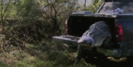 Alligator stepping out of truck (Click2houston.com)