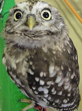 Big eyed owl. ((Kinaganizutto released to PD/Commons.wikimedia.org)