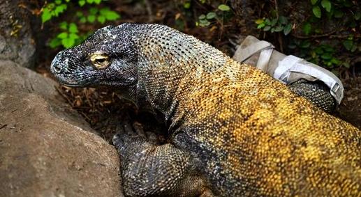 Smaug, Komodo dragon (Houston Zoo)