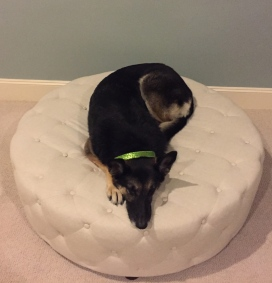 German Shepherd on round ottoman. ALL rights reserved. NO permisiions granted. Copyrighted