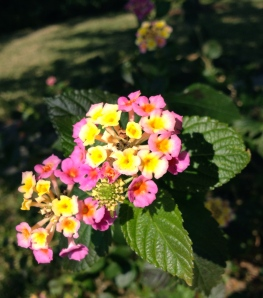 Lantana blooms. ALL rights reserved. Copyrighted. NO permisssions granted