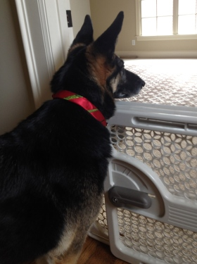 No permissions ranted for this image of German Shepherd at the gate. ALL rights reserved. Copy righted