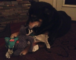 NO permissions granted to this image of dog and toy. ALL rights reserved. Copyrighted