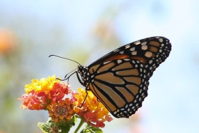 Monarch butterfly on flower./ Luis nunes alberto (Commons.wikimedia.org)