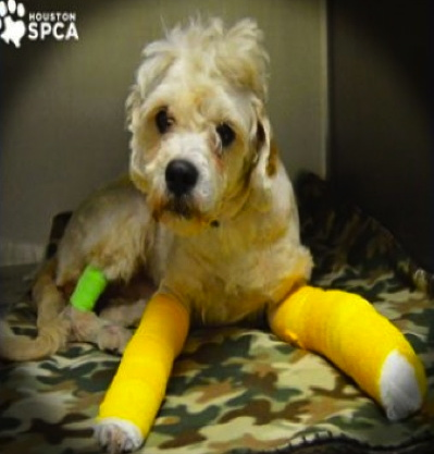 Benny the dog is in safe hands now thansk to the SPCA animal ambulance and vets. (Houston SPCA/click2houston)