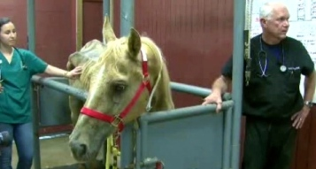 Skin and bones Palomino horse at SPCA with med staff. (Click2houston)