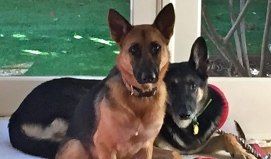 Portrait of two German Shepherds. NO permissions granted. All rights reserved. Copyrighted