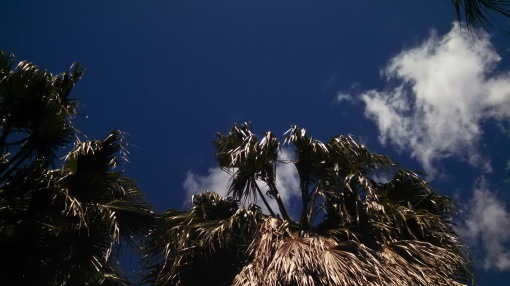 (ALL rights reserved) Fan palms against blue sky. NO permissions granted. Copyrighted