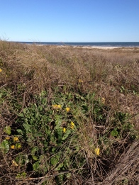 Yellow flowers along beach access trail. All rights reserved. Copyrighted. NO permissions granted