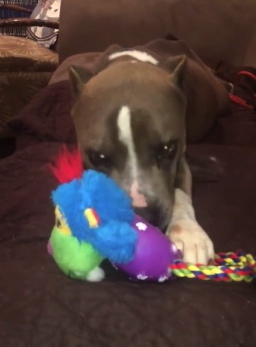 Dog ripping up dog toy. King's Bucket List. Item 31.Get new toys. De-stuff them ASAP.(Houston Street Dogs Facebook)