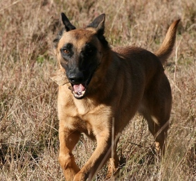 Dog. Belgian Malinois. (Cinder by diveofficer/wikimedia.org