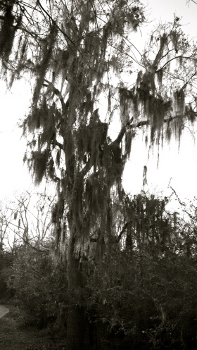 Tall moss draped tree in park. All rights reserved. Copyrighted. No permissions granted