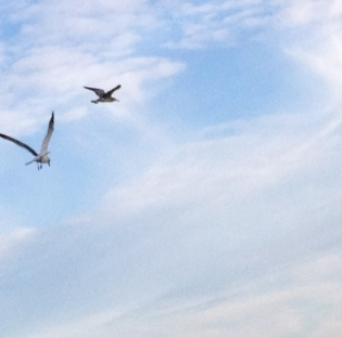 Two Seagulls in cloudy sky. ALL rights reserved. Copyrighted. NO permissions granted