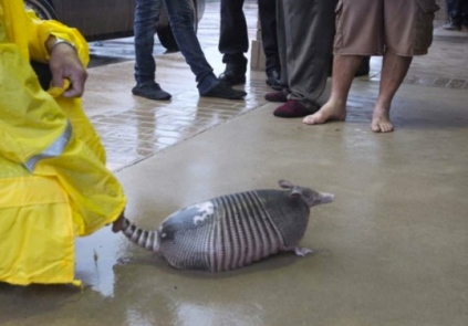 armadillo rescue by KTRK/abc reporter. ( Steve Gonzales:Houston Chronicle:chron.com)