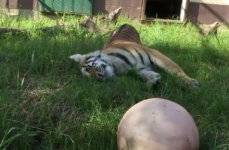 Rescued conroe tiger rolling in the grass at her new home (click2houston.com