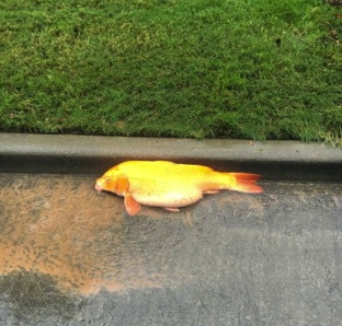 Fish in the street after flood. . (Audrey Seykora/chron.com)