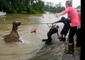Horse being dragged to safety. (Mulligan/hou.chron/chron.com)