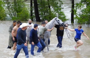 horse being lead to safety by woman and men. (Mulligan/hou.chron/chron.com)