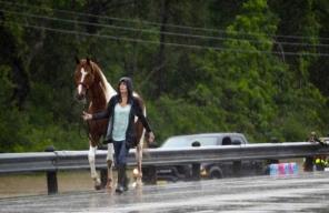 pinto horse being led to safety.(M.Mulligan/hou.chron/chron.com)