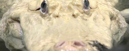 Alligator. Blanco face to face. Such blue eyes you have! (Houston Zoo)