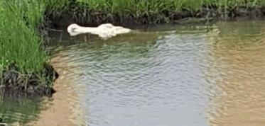 Alligator Blanco in his own deep pool. (Crocodileencounter FB)