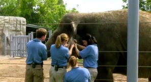 Elephant donating blood from ear. (Houston Zoo/khou.com/news)